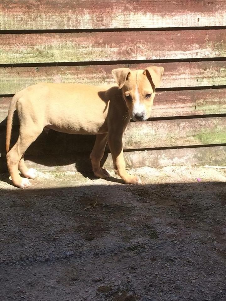 Bull x Greyhound pups for sale