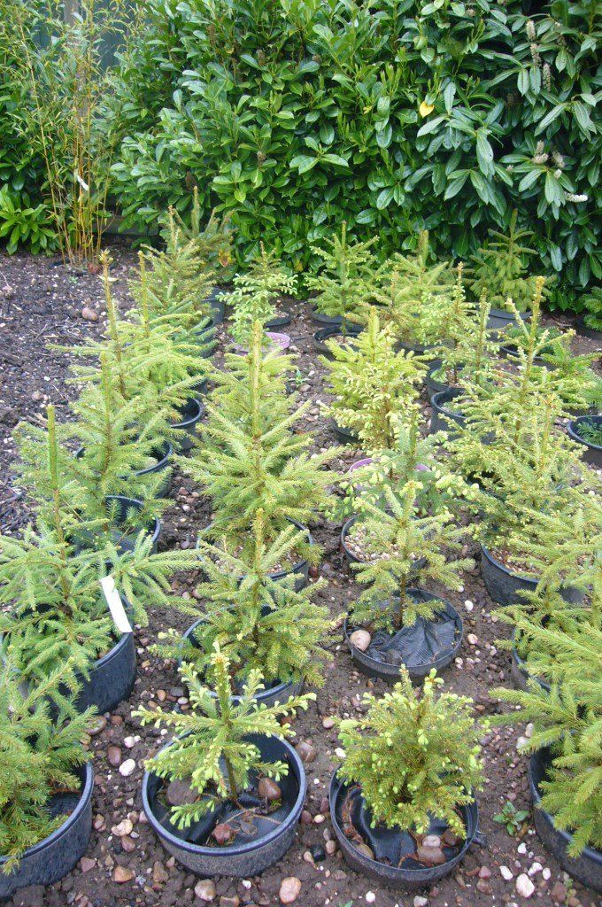 CHRISTMAS TREES - NORWAY SPRUCE - 30/60cm - IN 15L POTS