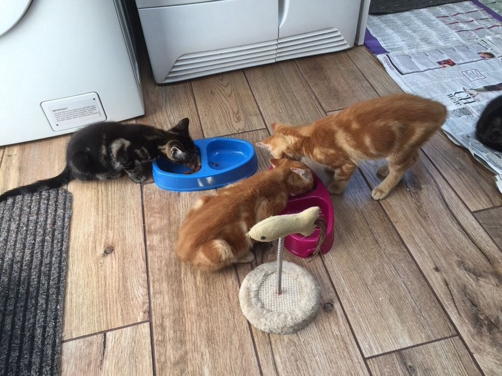 Four kittens for sale