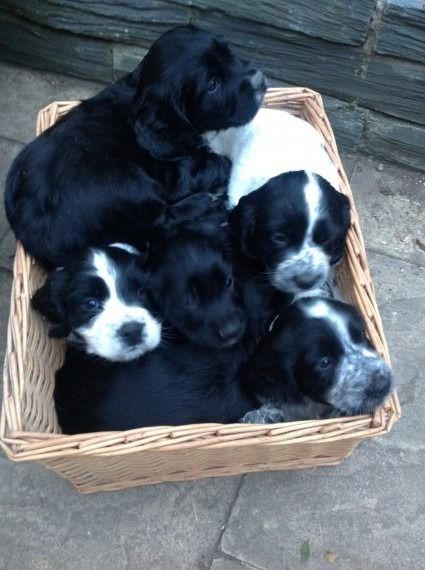 Sprocker spaniels pupies black and white and black