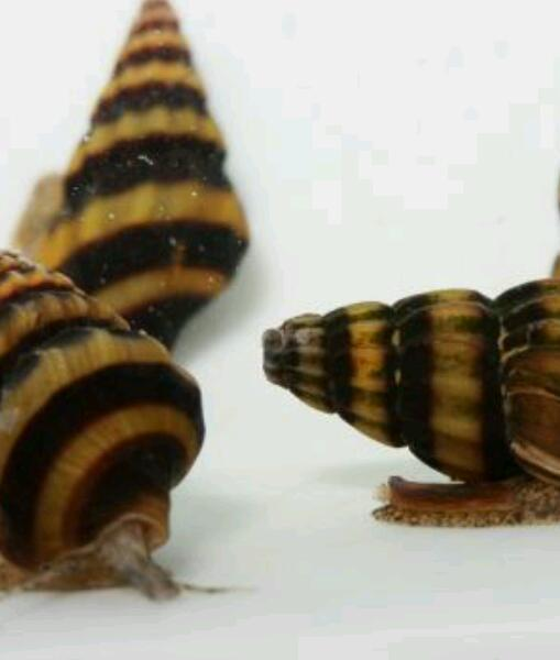Assassin Snails