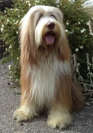 Bearded collie, sandy brown male, answers to bradley