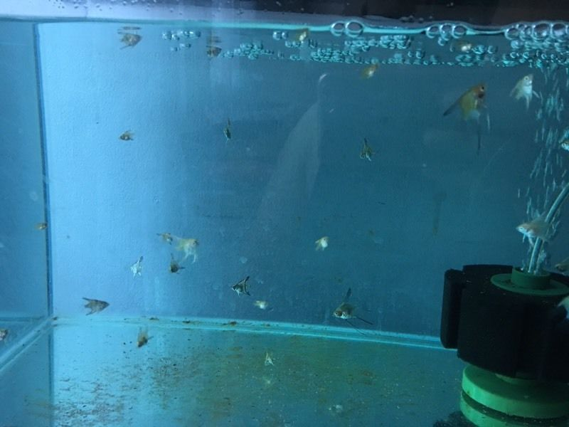 Baby angelfish for sale
