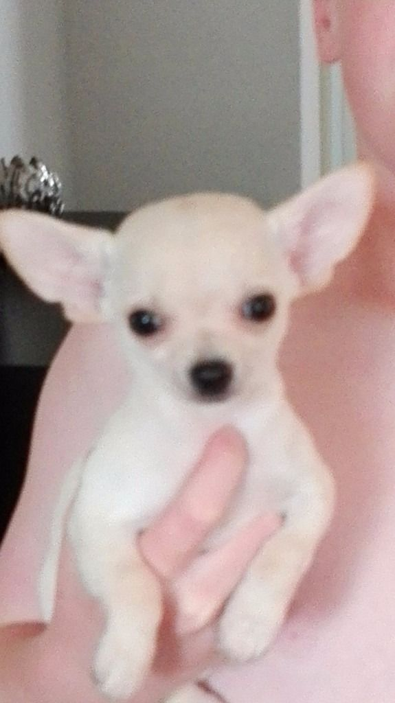 Chihuahua puppies ready for new homes