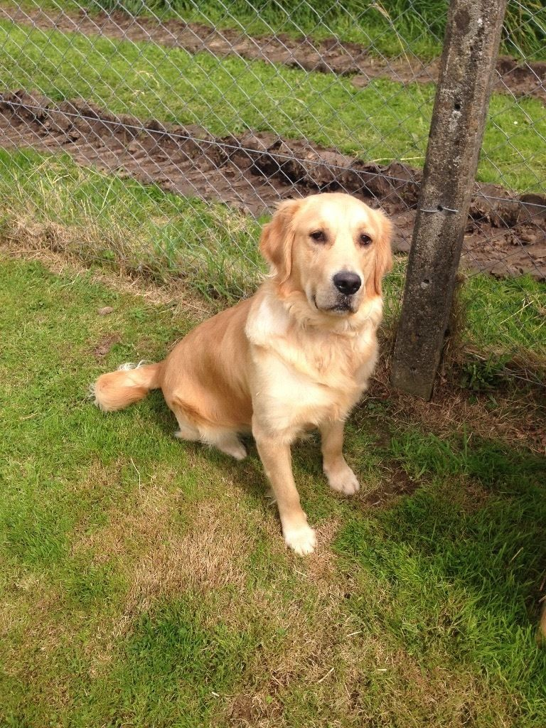 11month old male golden retriever