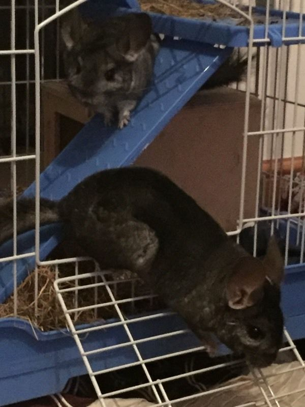 Two female chinchillas and cage