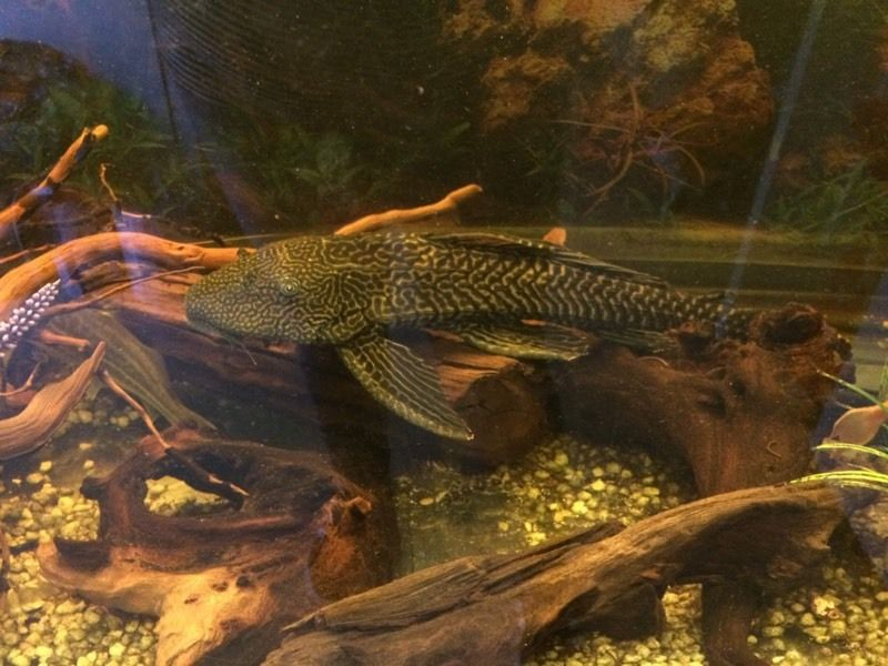 Plecostomus x 2 for sale