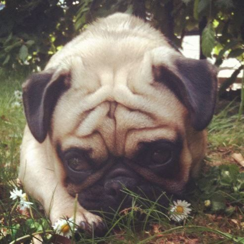 ** MISSING ** Fawn Male Pug