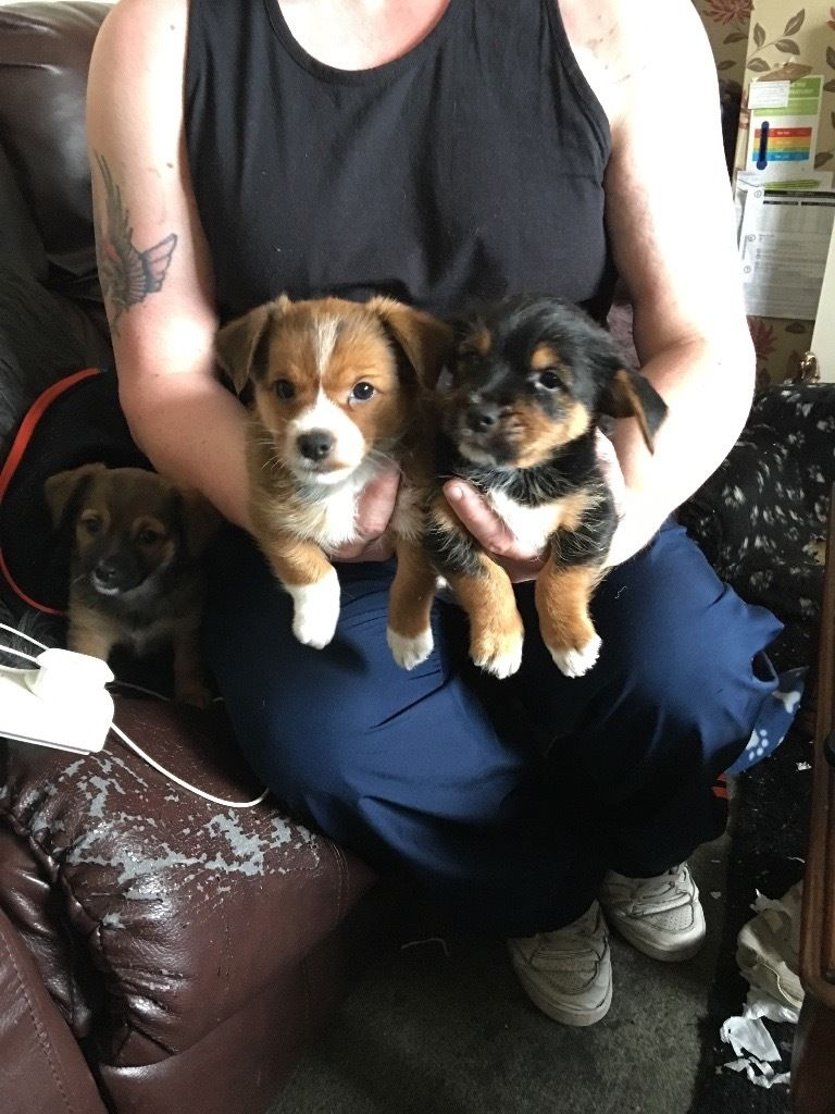 FOR SALE 1/2 YORKSHIRE TERRIER X 1/4 JACK RUSSELL X 1/4 CHIHUAHUA PUPPIES