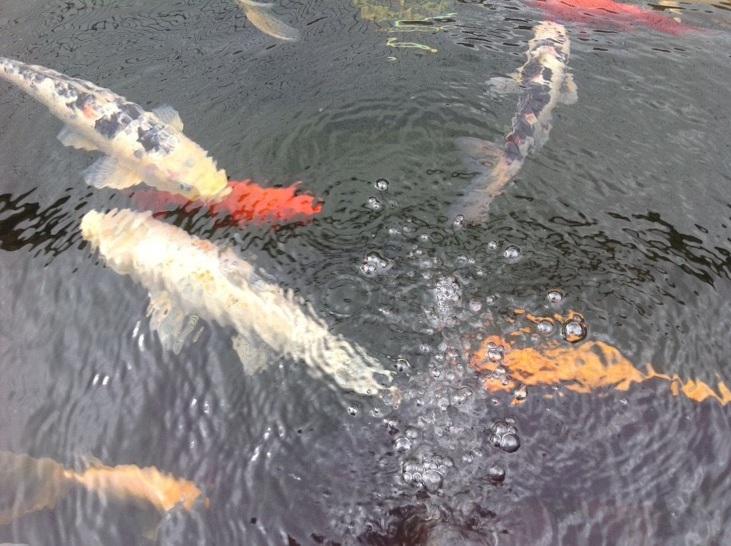Job lot koi carp