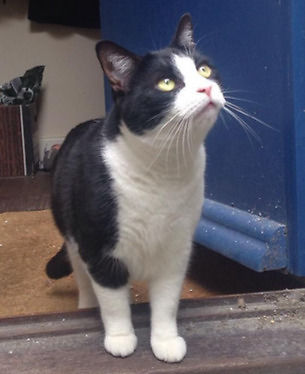 **MISSING CAT**- SMALL>BLACK AND WHITE>WHITE PATCH ON BACK