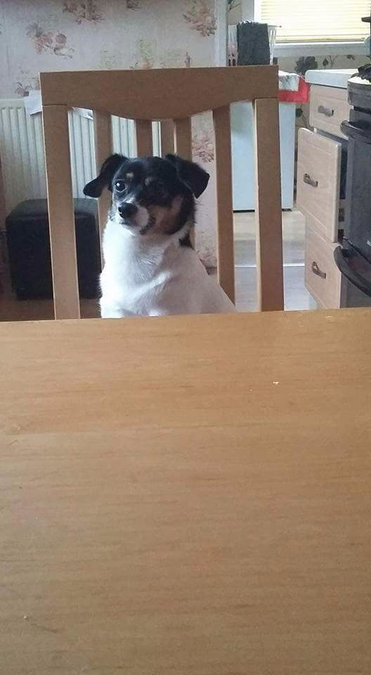 5 year old Chihuahua mixed Jack Russel