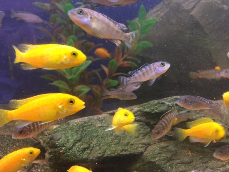 Yellow labs and melanochromis joanjohnsonae