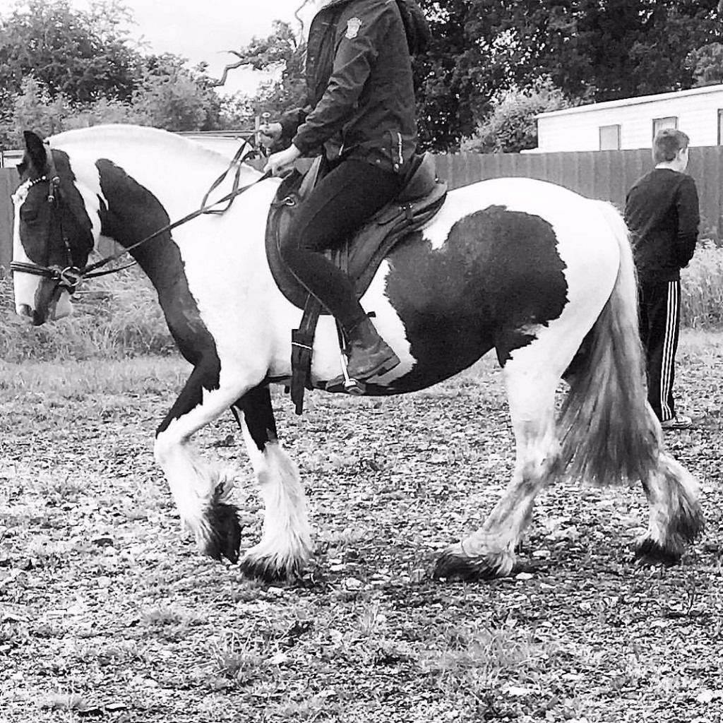 Gorgeous 14'2/3 Gypsy Cob for part loan