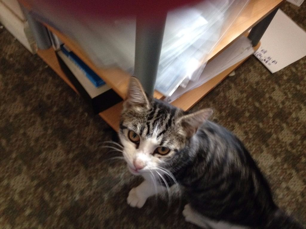 Stray found - Tabby & White Young Female Cat_unchipped