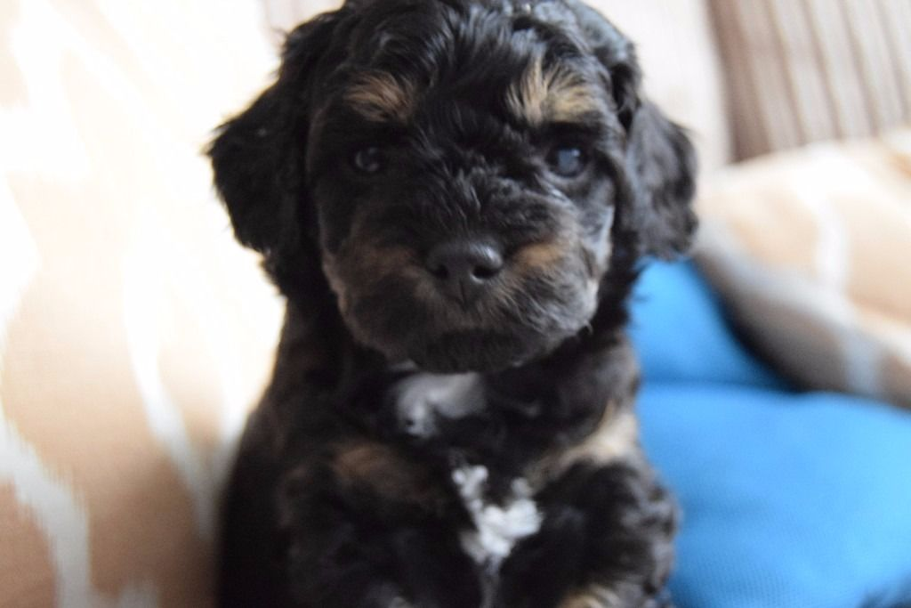 Shih-poo puppy for sale ASAP