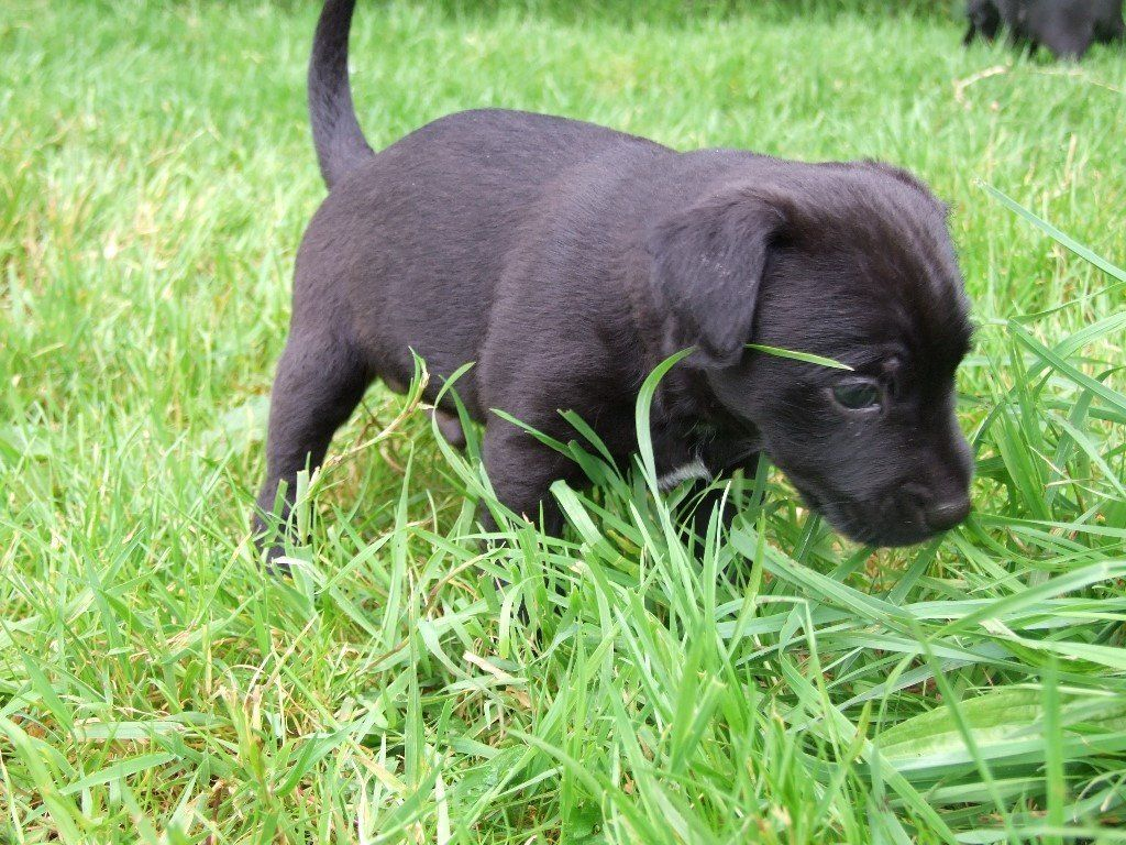 Patterdale Terrier Pups For Sale