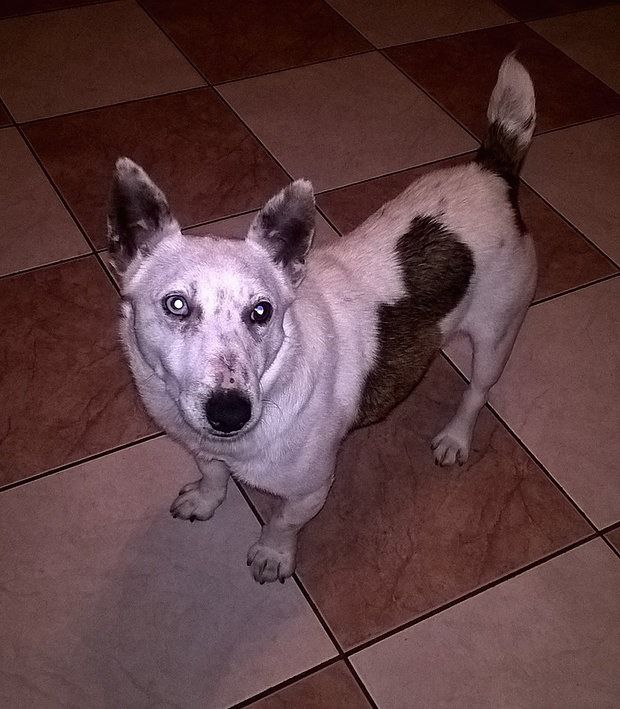 Loving Home Needed  3 year old male Terrier called Echo Perfect Paws Dog Sanctuary