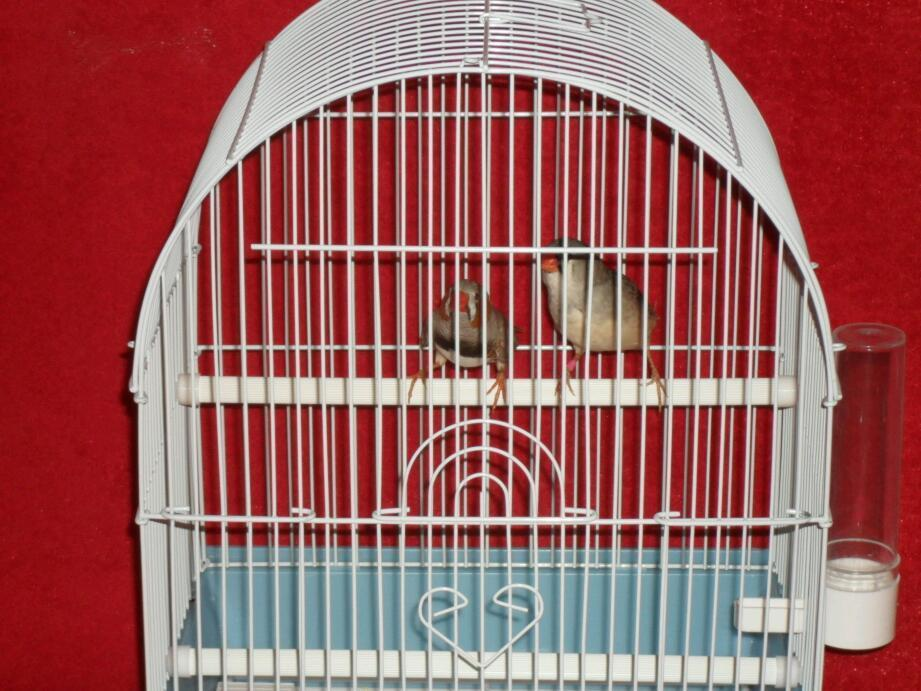 Pair of exhibition finches with new cage