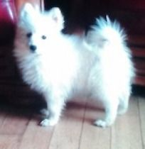 Pomeranian 5 mts old very small type