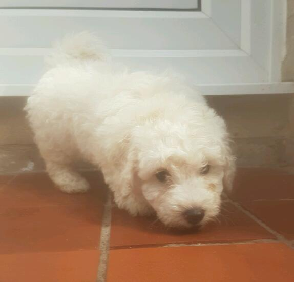 POOCHON PUPPY READY NOW
