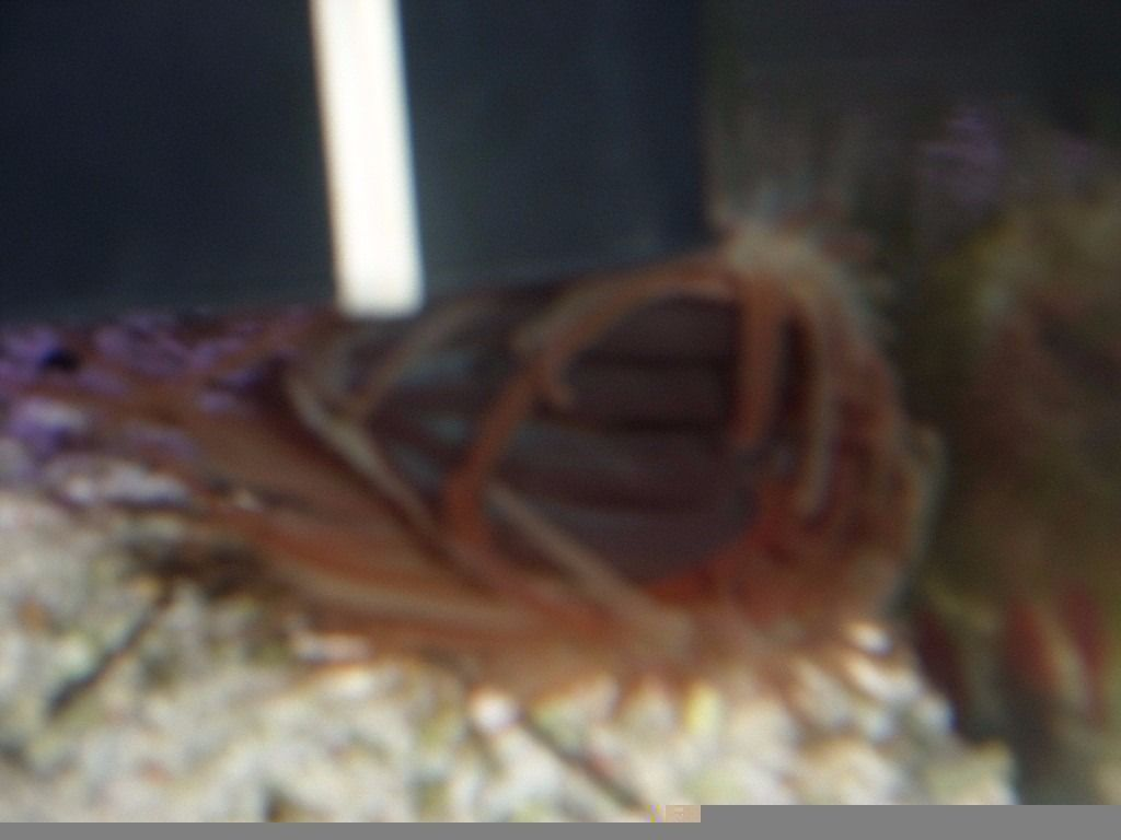 marine red flame scallops 2 SOLD 2 LEFT.