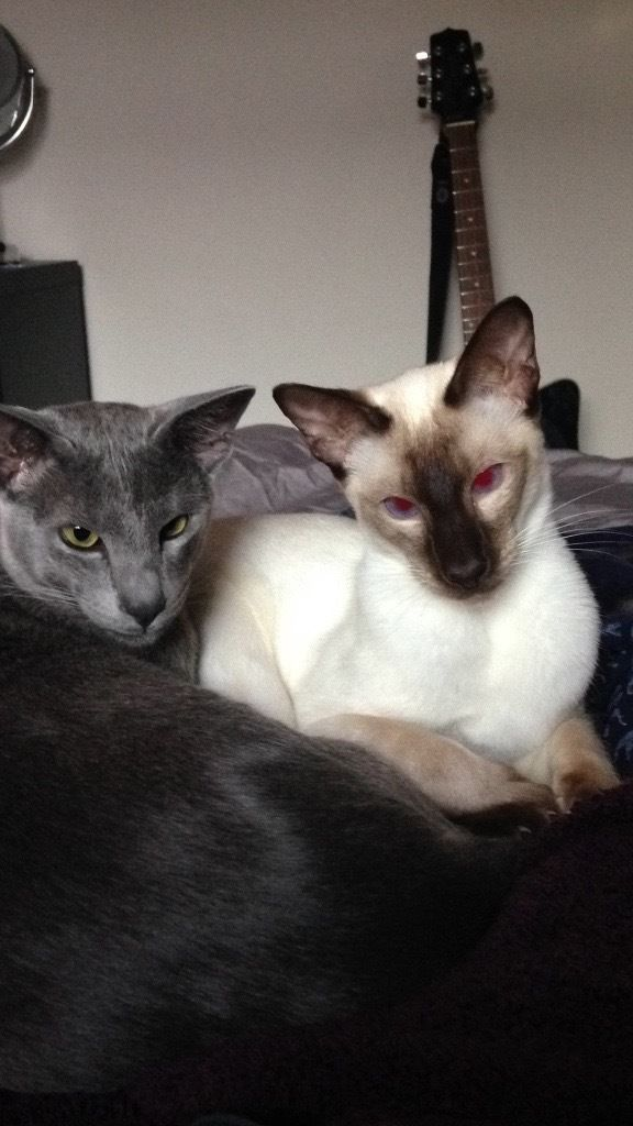 Lost Chocolate Point Siamese