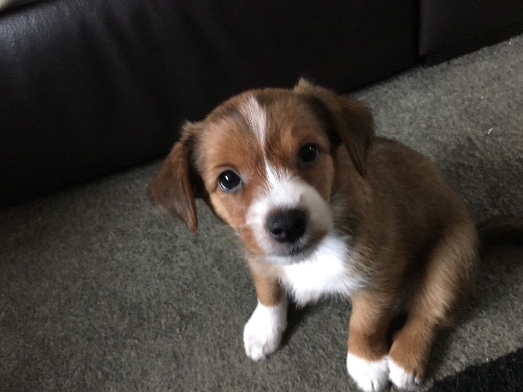 1/2 YORKSHIRE TERRIER X 1/4 JACK RUSSELL X 1/4 CHIHUAHUA PUPPY