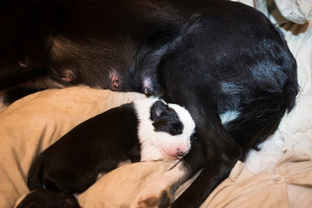 5 border collie puppies 4 boys and 1 girl, rehome date is around the 9th of October 2016