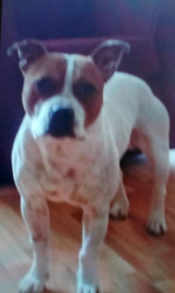 Lost staffy white called key