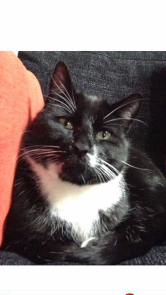 Lost Black and White Tabby
