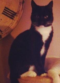 MISSING CAT: black with white, adult tom; white bib, 4 white paws; neutered & chipped. REWARD #EH53