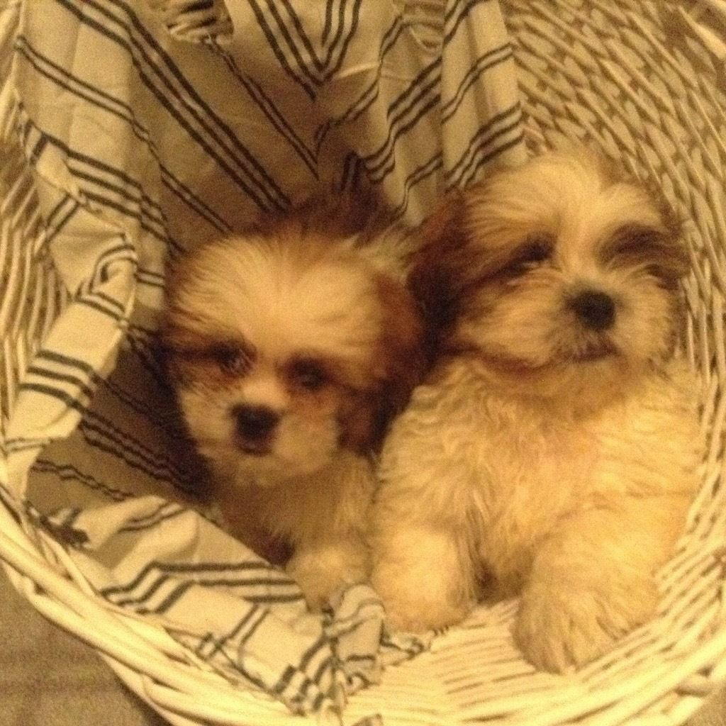 Two shihtzu puppies for sale .only boy left .