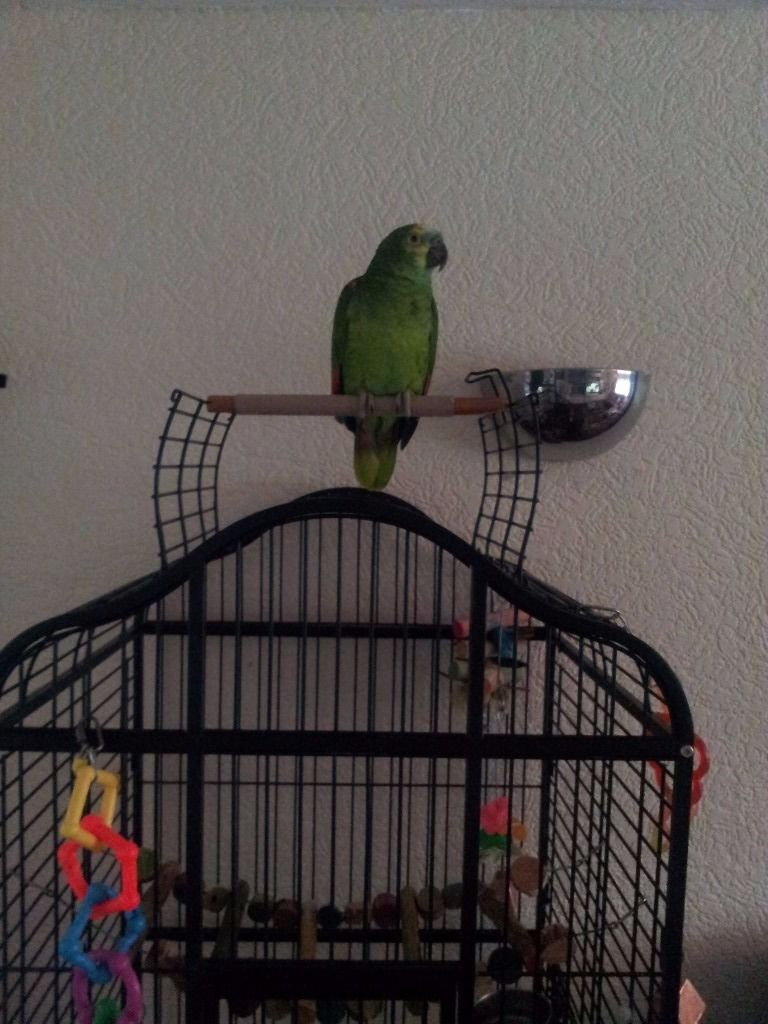 Blue fronted amazon parrot + cage