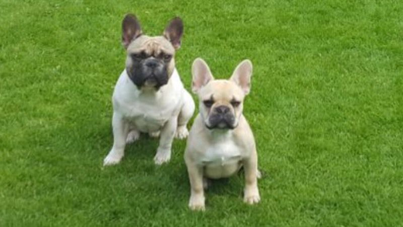 French bull dog pair