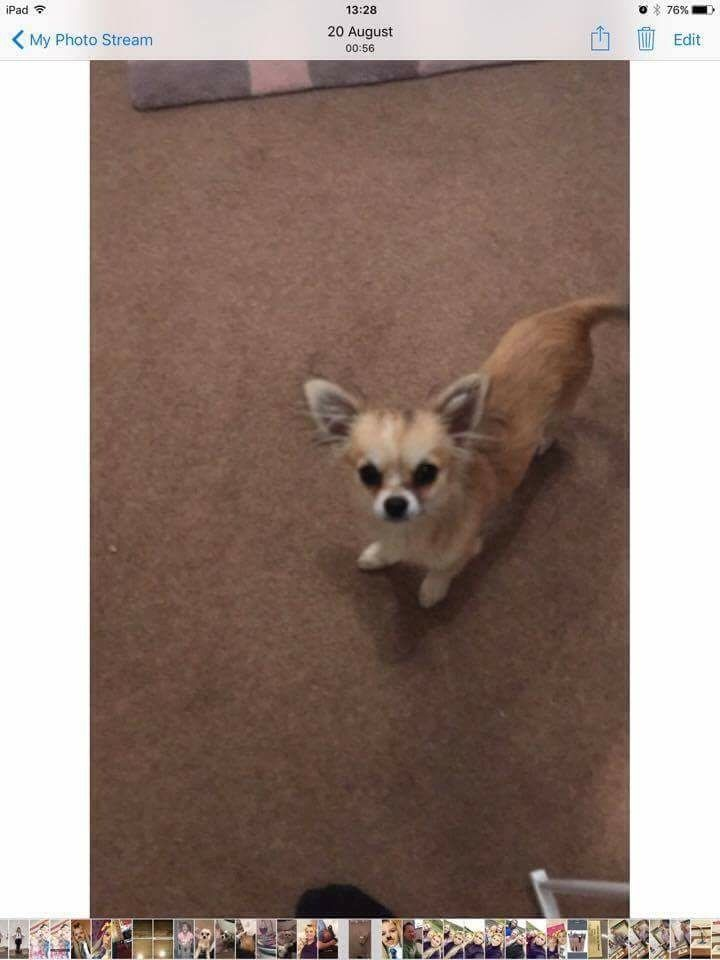 Our Chihuahua named HOLLYWOOD has gone missing from the kirriemuir area. reward for his safe return