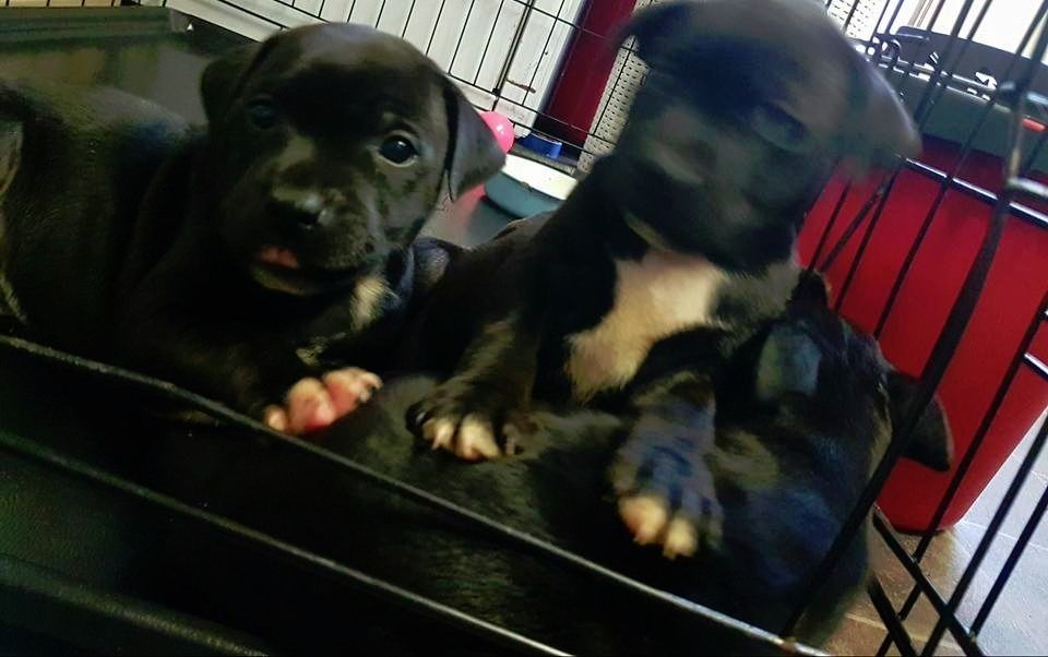 Beautiful chunky Staffy puppies for sale Ready now 3 left