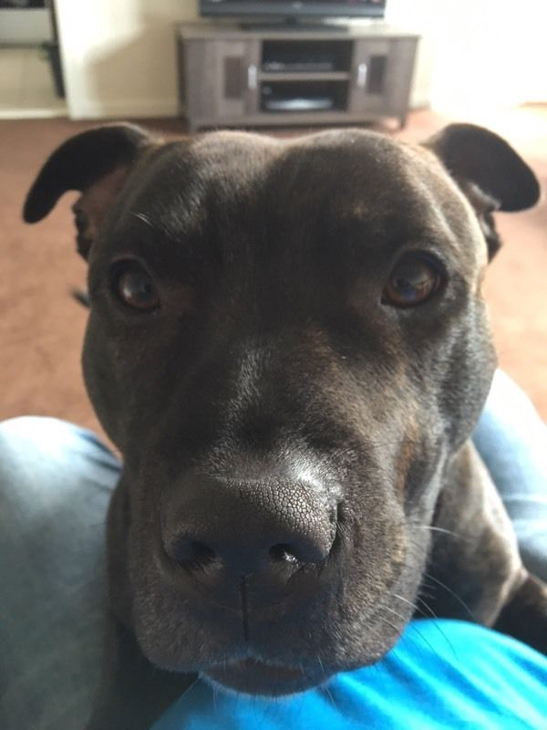 Staffy looking for new home