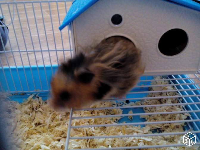 2 hamster angora + cage complète
