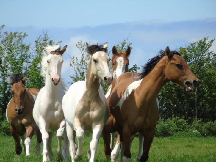 American Paint Horses, Western Paarden, Eagles Ranch -Texel