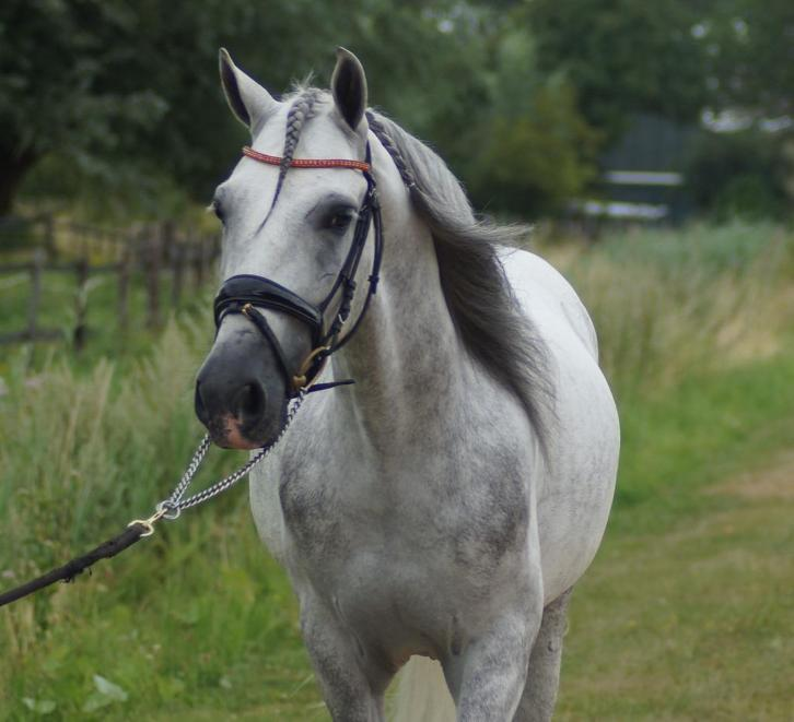 Hele lieve pre/andalusier ruin