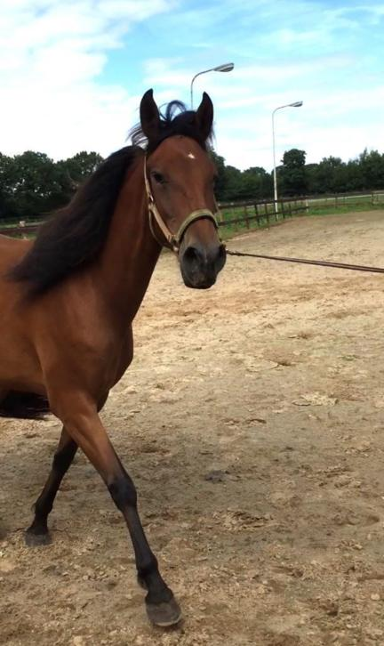 Lieve 3-jarige P.R.E. merrie (Andalusier)