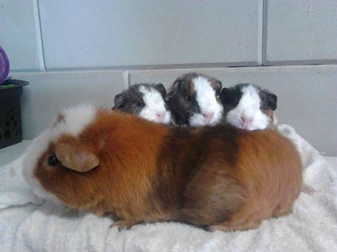 Us teddy cavia's